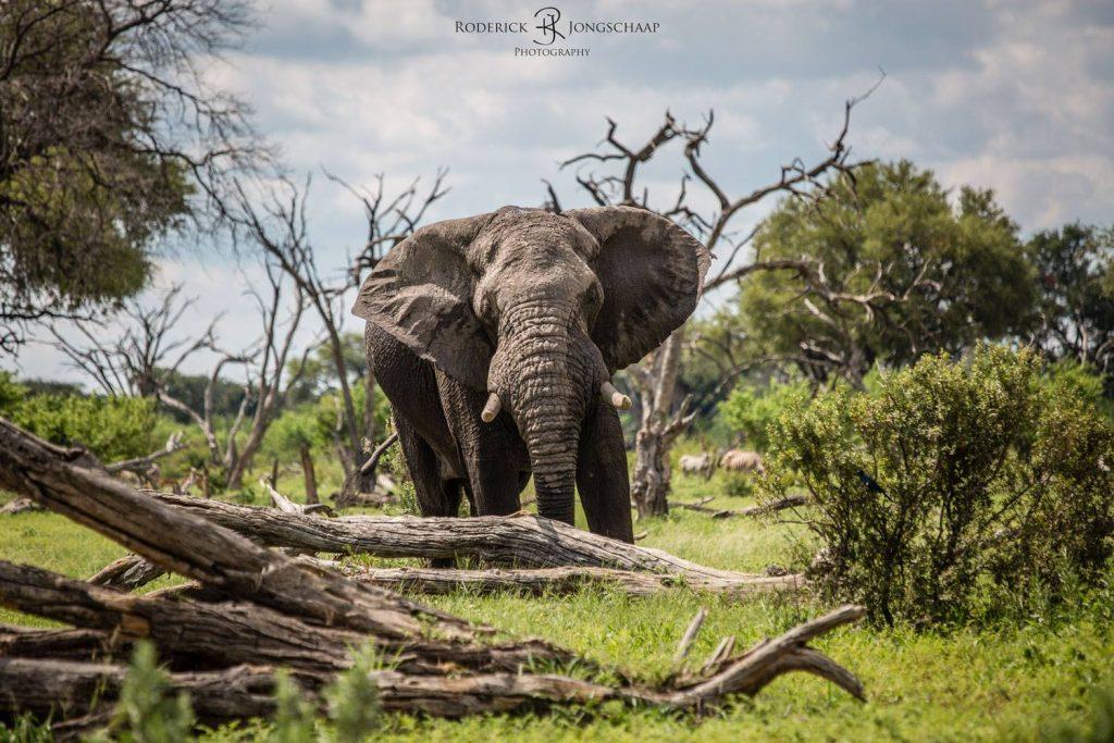 Is de olifant het sterkste dier?