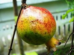 mier eet fruit