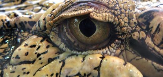 zeekrokodil oog