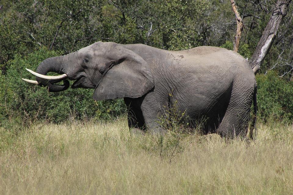 hoe oud kan een olifant worden