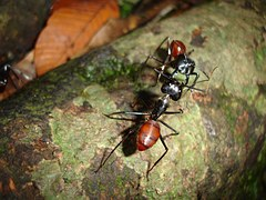 mieren gevecht