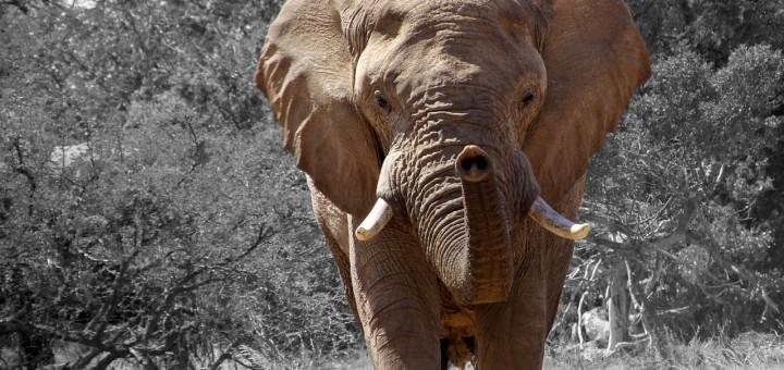 sterkste dier olifant