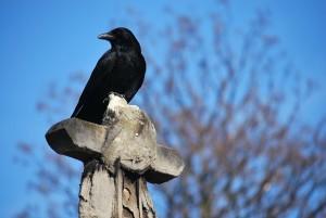 crow4