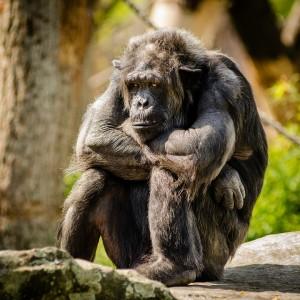 mensaapchimpansee2