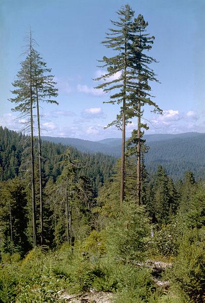 hoge bomen redwood