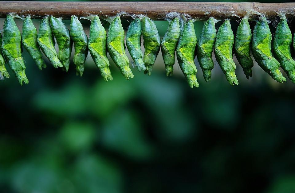 vlinderscocons