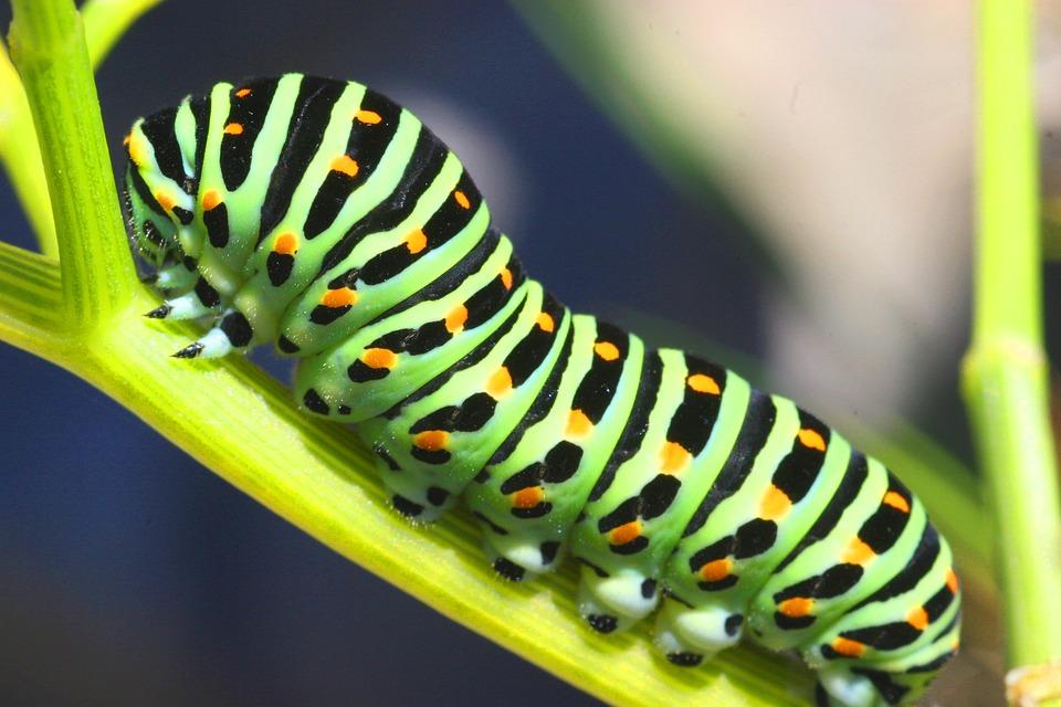 vlindersrups
