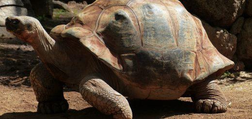 landschildpad